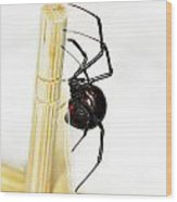 Sideview Of Black Widow Spider Wood Print