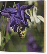 Silky Blue Columbine And A Busy Bee Wood Print