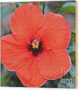 Silky Red Hibiscus Flower Wood Print