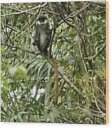 Silly Red-tailed Monkey Wood Print