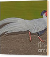 Silver Pheasant In Strutting Pose Wood Print