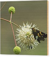 Silver-spotted Skipper On Buttonbush Flower Wood Print