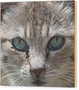 Silver Tabby But What Color Eyes Wood Print