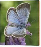 Silvery Blue Butterfly Wood Print