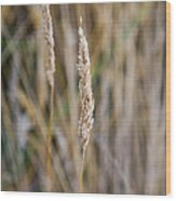 Single Blade Of Tall Field Grass Wood Print