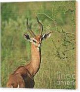Single Grant's Gazelle Wood Print