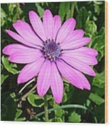 Single Pink African Daisy Against Green Foliage Wood Print