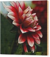 Single Red Dahlia Wood Print