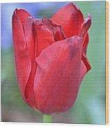 Single Red Tulip Wood Print