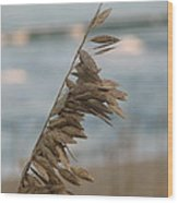 Single Strand Beachgrass Wood Print