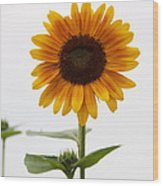 Single Sunflower Wood Print
