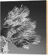 single top of Palm Tree blowing in a very strong wind against a blue sky Tenerife Canary Islands Spain Wood Print
