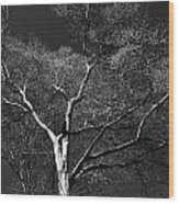 Single Tree With New Spring Leaves In Black And White Wood Print