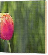Single Tulip Flower On Green Background Wood Print
