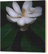 Sweet White Magnolia Bloom Wood Print