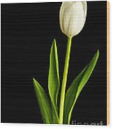 Single White Tulip Over Black Wood Print by Edward Fielding
