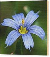 Sisyrinchium Angustifolium Wood Print