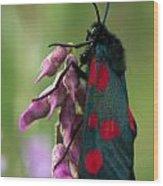 Six Spotted Burnett Moth Wood Print