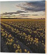 Skagit Daffodils Sunset Sunstar Wood Print