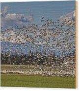 Skagit Snow Geese Liftoff Wood Print
