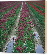 Skagit Valley Tulips Wood Print