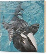Skana Orca Vancouver Aquarium Pat Hathaway Photo1974 Wood Print