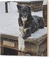 Skeeter The Sled Dog  Wood Print