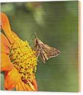 Skipper Butterfly On An Orange Flower Wood Print