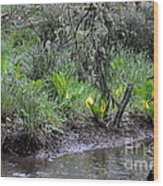 Skunk Cabbage Blooming In Washington State Forest  2 Wood Print