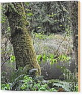 Skunk Cabbage Blooming In Washington State Forest  3 Wood Print