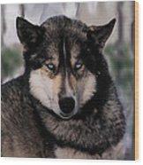 Sled Dog Resting Wood Print
