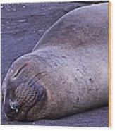 Sleeping Elephant Seal - Isla Guadalupe Mexico Wood Print