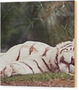 Sleeping White Snow Tiger Wood Print