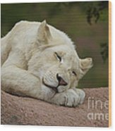Sleeping White Lion Cub Wood Print