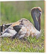 Sleepy Baby Sandhill Crane Wood Print