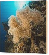 Slimy Leather Coral And Tropical Reef In The Red Sea. Wood Print