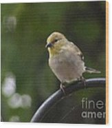 Gold Finch Resting Wood Print
