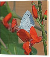 Small Blue Butterfly Wood Print