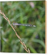 Small Blue Dragonfly Wood Print