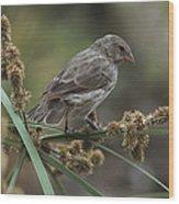 Small Ground-finch Female Feeding Wood Print
