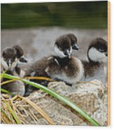 Smew Ducklings On Shore Wood Print