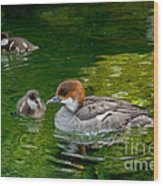 Smew With Ducklings Wood Print