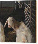 Smiling Goats  Wood Print