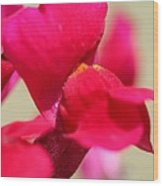 Snapdragon Named Red Chimes Wood Print