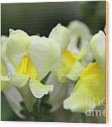 Snapdragons Group Of Yellow Cream Wood Print