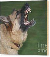Snarling German Shepherd Dog Wood Print