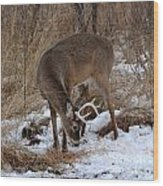 Sniffing Stag Wood Print