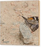 Snout Butterfly  Wood Print