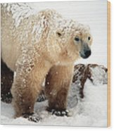 Snow Bear Wood Print