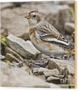 Snow Bunting Pictures 43 Wood Print